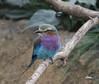 Rollier d' Europe (giloudim) Tags: oiseau couleurs animal nature branches bec plumes canon7dmarkii tamrom bleu mauve