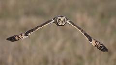 What long wings you have! (Chris Bainbridge1) Tags: asioflammeus shortearedowl in flight canon 5dsr cambridgeshire marsh marshland long wings