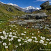 Пушица /  Cottongrass in the Valley of 7 Lakes