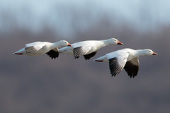 Snow Geese at Middle Creek Wildlife Management Area-18 (Scott Alan McClurg) Tags: anatidae anseriformes anserinae anserini aves ccaerulescens chen federal federalwildlifenaturepreserve flickr flap flapping flight flock flying geese goose landing life middlecreek migrate migration nature naturephotogtaphy photography pond preserve resevoir snow snowgeese snowgoose water white wild wildlife