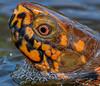 "Macro Monday ""Less than an inch"" (Aliparis) Tags: macromonday lessthananinch bubbles turtleeye turtle"