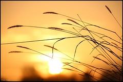 Cérans-Foulletourte (Sarthe) (gondardphilippe) Tags: céransfoulletourte sarthe maine paysdelaloire leverdesoleil soleil sun herbes orange nature ciel sky ngc