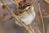 White-Throated Sparrow 1-7-2018-2 (Scott Alan McClurg) Tags: emberizidae passeri passeroidea zalbicollis zonotrichia animal back backyard bird delaware life nature naturephotography neighborhood perch perching portrait songbird sparrow suburbs whitethroated whitethroatedsparrow wild wildlife winter