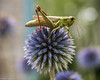 On Top of the World (Dean OM) Tags: flower grasshopper thistle macro color purple green