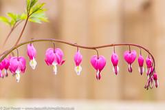 Bleeding Heart | Dicentra | Pink (Zoë Power) Tags: magenta spring macro flowers pink dicentra heart heartsinnature mygarden bleedingheart