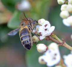 a bee on viburnum (conall..) Tags: county down tullynacree nw551041 annacloy garden honeybee honey bee apis mellifera flower pollination viburnum
