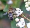 a bee on viburnum (conall..) Tags: county down tullynacree nw551041 annacloy garden honeybee honey bee apis mellifera flower pollination viburnum
