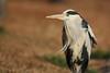 Grey heron (Teruhide Tomori) Tags: bird greyheron animal kyoto japan aquaticbird wild nature アオサギ 野鳥 日本 野生 鳥 japon evening winter