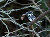 Pied Kingfisher (Ceryle rudis) (piazzi1969) Tags: elements birds eisvogel kingfishers wildlife avifauna fauna nature uganda africa afrika piedkingfisher ceryle rudis graufischer canon eos 7d markii ef100400mm