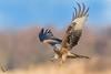Kania Ruda, Red Kite (Milvus milvus) ... (Rafal Szozda) Tags: redkite birds nature animals wildlife colors winter nikon nikkor meadow flight blue sky lubuskie poland