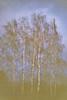 Birken # Image010_11A # Fuji DL Mini Kodak ColorPlus200 - 2018 (irisisopen ☼the seeker☀︎) Tags: fuji dl mini kodak colorplus 200 analog farbnegativ farbe color irisisopen