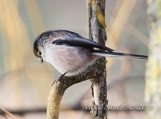 Mésange à longue queue - Aegithalos caudatus - Long-tailed Tit : Michel NOËL © 2018-7883.jpg