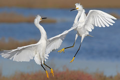 Snowy Fight (bmse) Tags: snowy egrets fight bolsa chica canon 7d2 400mm f56 l bmse salah baazizi wingsinmotion