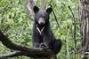 Black Bear (james white Photo) Tags: blackbear bear tree wet water rain green ursusamericanus