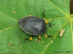 shieldbug (LPJC) Tags: villacarmen manu 2016 lpjc shieldbug
