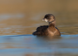 Pied-billed Grebe (Explored 2-2-18)