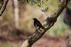 Melro (Carlos Santos - Alapraia) Tags: melro ngc ourplanet animalplanet canon nature natureza wonderfulworld highqualityanimals unlimitedphotos fantasticnature birdwatcher ave bird pássaro