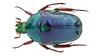 Coptomia violacea Pouillaude, 1918 Madagascar (Easyparadise) Tags: beetle collection coleoptera metal color insect nature animal scarab specimen macro entmology museum cetoniinae biodiversity 昆虫 甲虫