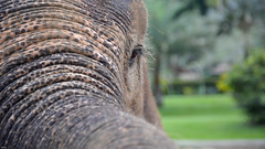 ... I'm watching you ... (wolli s) Tags: bali elefant eye park tegallalang indonesien id