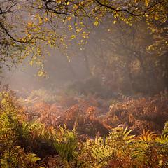 Bracken (Dave Watts Photography) Tags: essex colchester misty fog woodland davewatts bracken autumn brown green orange
