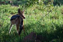 Black-backed jackal - Canis mesomelas (Rooijakkals / silwerrugjakkals) (roanfourie) Tags: nikon d3400 nikkor flickr flick explore 70300mm ed dx afp vr southafrica africa pilanesberg bakubung jackal nature fauna wild february32018