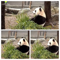 2018_02-11e1 (gkoo19681) Tags: beibei chubbycubby fuzzywuzzy adorableears brighteyed bootime listening concentration toocute precious meltinghearts perfection ccncby nationalzoo