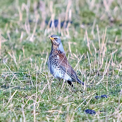 fieldfare (Paul Wrights Reserved) Tags: fieldfare bird birding birds birdphotography birdwatching portrait birdportrait beautiful