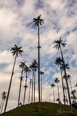 Palmas de Cera (Juliancs) Tags: clouds nubes atardecer sunset sunlight landscape paisaje salento cocora quindio colombia palmas palmadecera