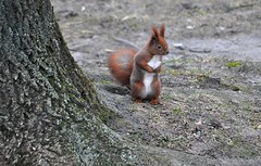 park resident (rafasmm) Tags: animal park walk outdoor poniatowski citynature citypark nikon d90 nikkor 70210 afd resident squirrel winter