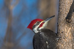 Grand Pic / Pileated Woodpecker (ALLAN .JR) Tags: grandpic pileatedwoodpecker wildlife nature boisé stdorothé oiseau bird picbois