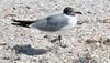 Laughing Gull -- Adult (Larus atricilla); Lover's Key SP, FL [Lou Feltz] (deserttoad) Tags: nature animal water park florida bird wildbird gull behavior beach