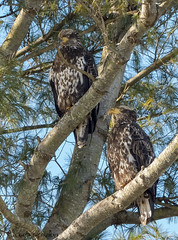 Immature Bald Eagles. (Estrada77) Tags: immature baldeagle nikond500200500mm wildlife winter outdoors illinois foxriver raptors distinguishedraptors birds birdsofprey