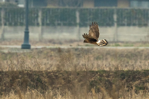 Northern Harrier - Bianzè - ItalyFJ0A9049