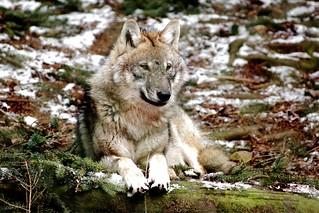 Europäischer Wolf - European Wolf