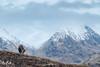 Red deer (Glen Etive, Scotland) (Renate van den Boom) Tags: 02febuari 2018 edelhert europa glencoe grootbrittannië jaar maand renatevandenboom schotland zoogdieren