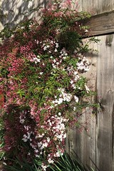 Jasmine Fence (Melinda Stuart) Tags: fence pink jasmine vine climber sidewalk berkeley spring scent march hff