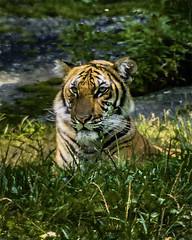 tiger (jsleighton) Tags: tiger animal zoo bronx
