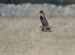 Short Eared Owl (6 of 6) (gordyc57) Tags: owl shorteared flight