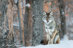Sitting so very pretty (Anne Marie Fraser) Tags: easterncoyote coyote coywolf trees forest woods animal beautiful pretty sitting parcomega canada
