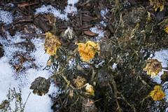 Winter Foliage (UWW University Housing) Tags: uww uwwhitewater uwwhousing uwwcampus winter winterbreak nature foliage