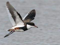 Red-kneed Dotterel (Mykel46) Tags: redkneed dotterel bif birds nature wildlife flight sony a9 100400mm 14xtele