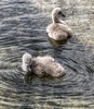 Cygnets (mclean25) Tags: cygnets swans relatives pair water preening paddling fluffy fluff ugly ducklings beaks nature life wildlife