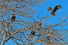 Bald Eagles In A Tree 17-1231-0075 (digitalmarbles) Tags: baldeagle baldeagles bald eagle eagles birdsofprey birdofprey raptor haliaeetusleucocephalus falconiformes flying flight wings landing sky tree wood branches nature wildlife animal bird birds birder birdphoto birdphotography wildlifephotography boundarybay deltabc lowermainland bc britishcolumbia canada canoneosrebelt7i canon