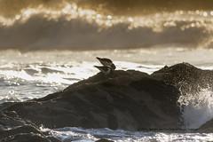 Oyster Catcher (The Original Happy Snapper) Tags: bird oystercatcher rocks waves sea outside ocean rock sky water sunset landscape wave beach sand