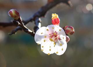 1ere fleur d'abricotier