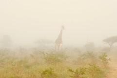 a foggy morning in the savanna (cirdantravels (Fons Buts)) Tags: giraffa girafe giraffe coth5