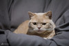 #22 Grumpy Clara (Mitrish) Tags: 365tagechallenge cat kitty katze kätzchen clara catsofinstagram photography 365tage sweet cute bhk britischkurzhaar grumpycat grumpy tired