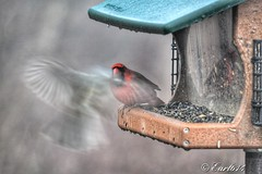 Ghost bird and Cardinal on a foggy morning. Not sure what happened here but let me know what you think. (Edale614) Tags: cardinal bird birds nature naturelovers columbus ohio fog foggy earl614