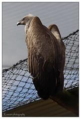 Vulture at the zoo (José Kroezen) Tags: aasgier vulture animal pentax pentaxk1 blijdorp rotterdam nederland dieren zoo bird