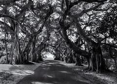Banyan archway (Tim Ravenscroft) Tags: banyan trees archway road bocagrande florida hasselblad hasselbladx1d x1d monochrome blackandwhite blackwhite